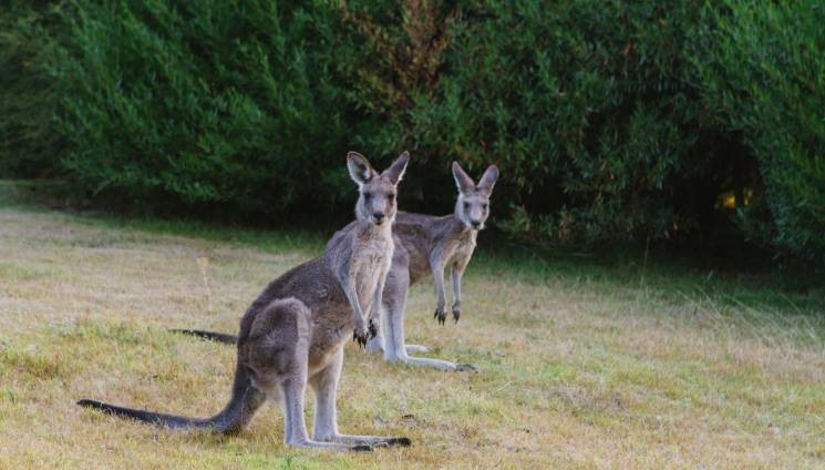 1139_kangaroos_gipsy_point.jpg