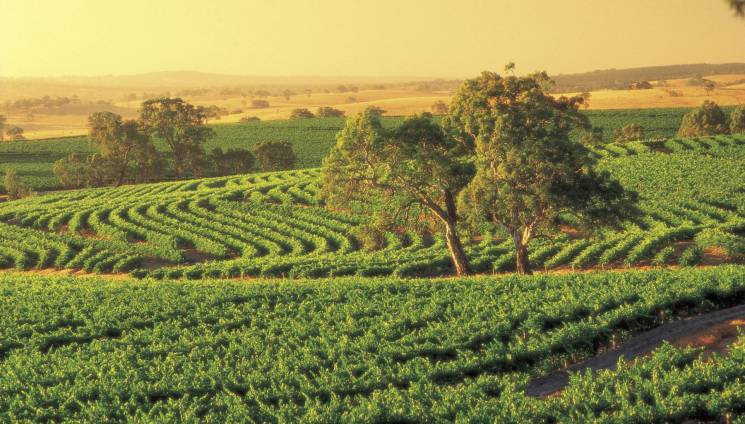 2008_1_vineyards_barossa.jpg